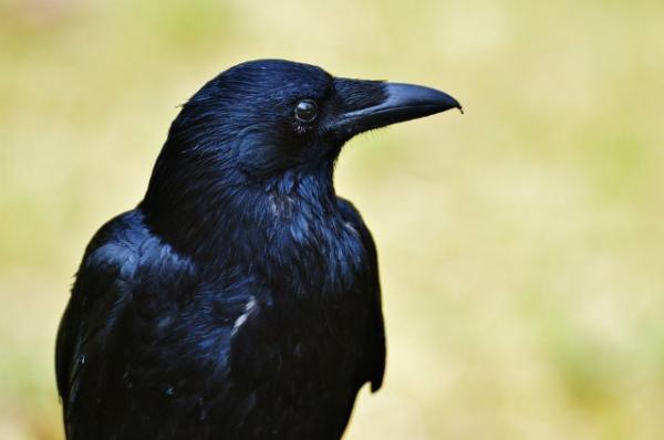 Kodėl gali svajoti juodasis varnas? Kodėl tu sapnuoji juodą varną